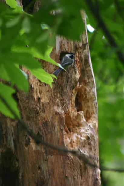 6chickadee nest_5771