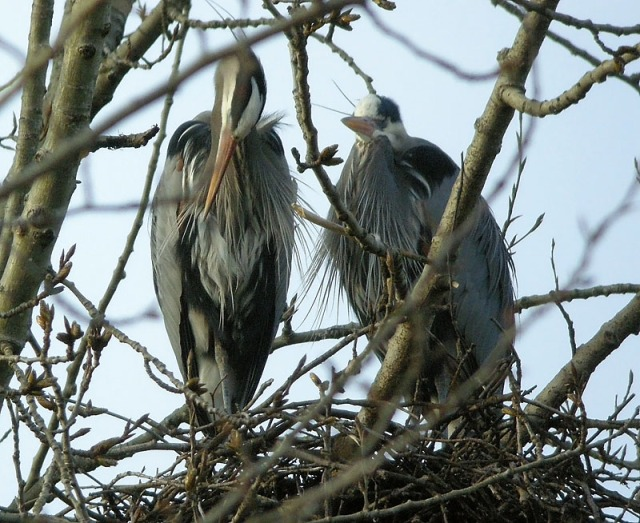 GBH paired off