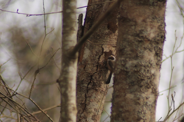 BCCH nest