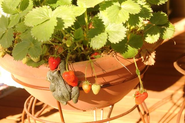 strawberry plnt