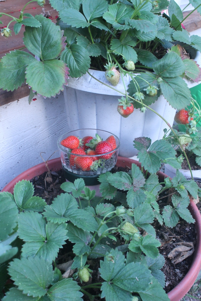 Strawberrys in August