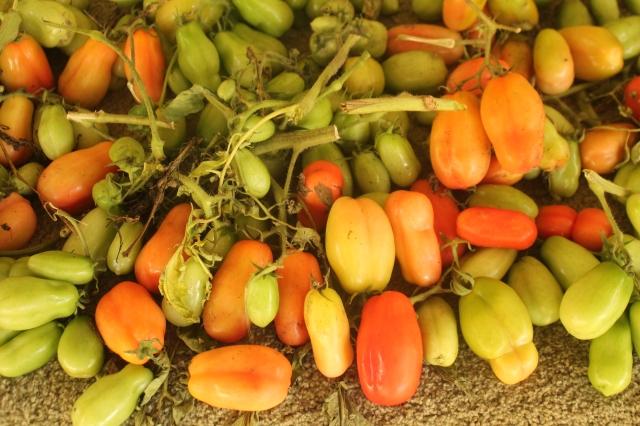 tomatoe crop